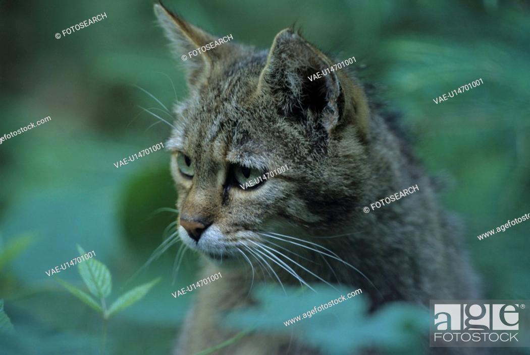 Stock Photo: European wildcat, portrait, felis, cat, carnivore, carnivores, cats.