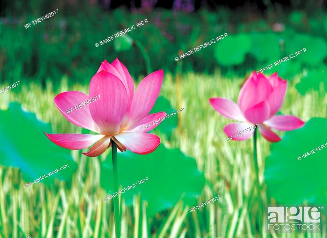 Stock Photo: flower, lotus.