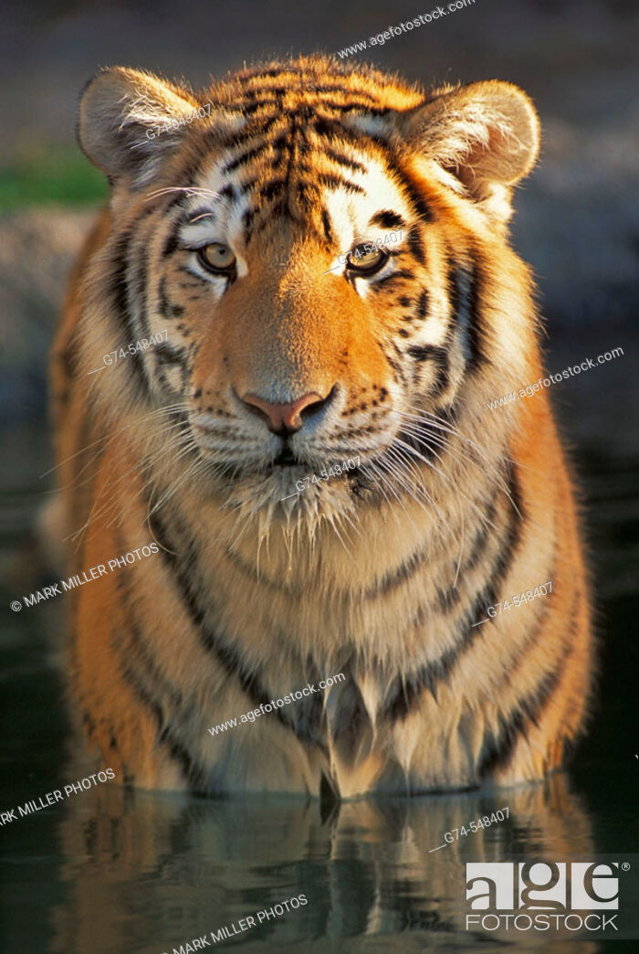 Stock Photo: Bengal Tiger reflection in water.