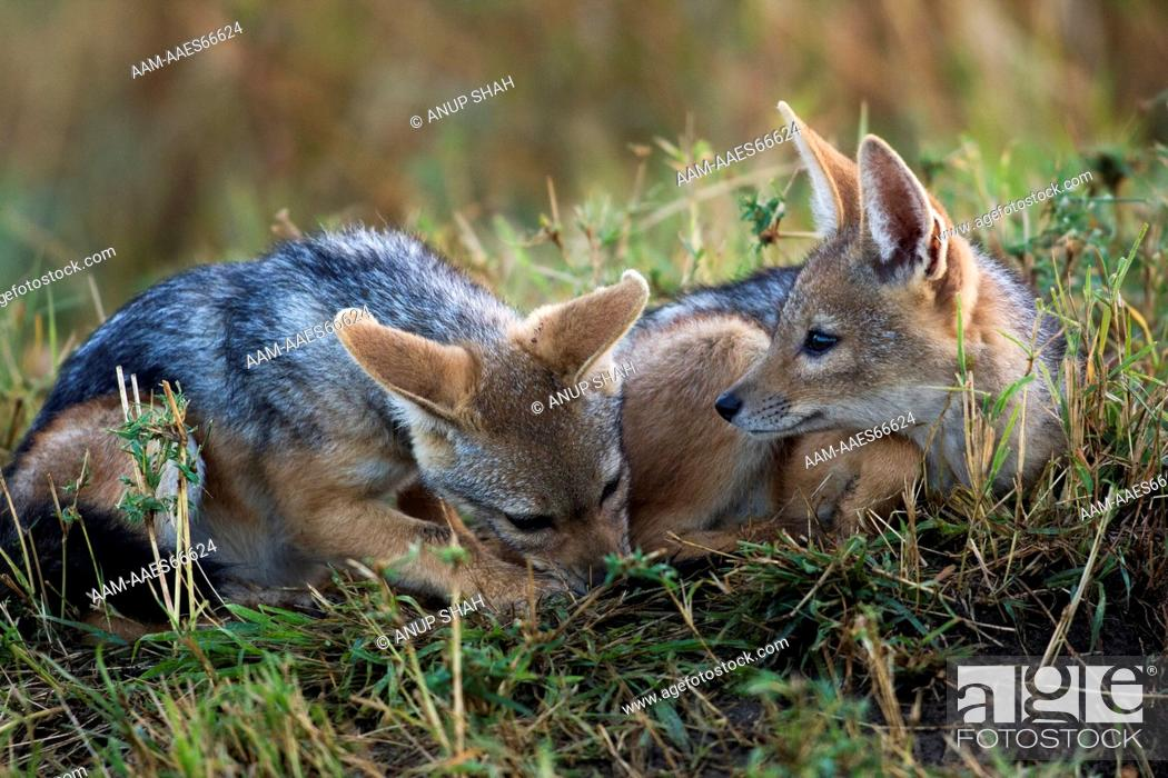Stock Photo: Black-backed Jackal pups playing (Canis mesomelas). Maasai Mara National Reserve, Kenya. Sep 2008.