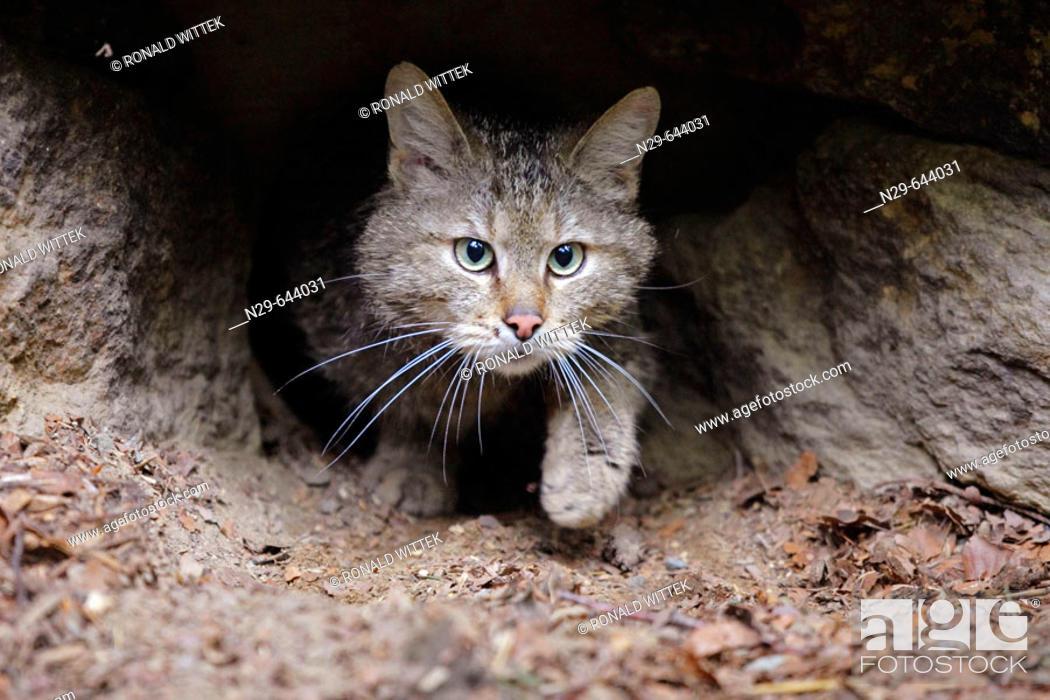 Stock Photo: Felis silvestris, Common Wild Cat, Germany, captive, hole walking out.