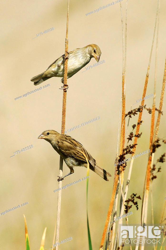 Stock Photo: House Sparrow (Passer domesticus). Río Ojailén, Puertollano, Ciudad Real, Spain.