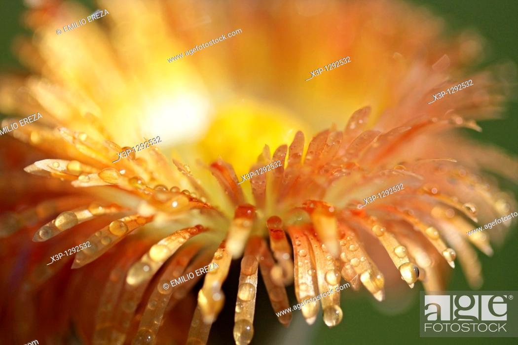 Stock Photo: Stone plant Pleiospilus nellii.