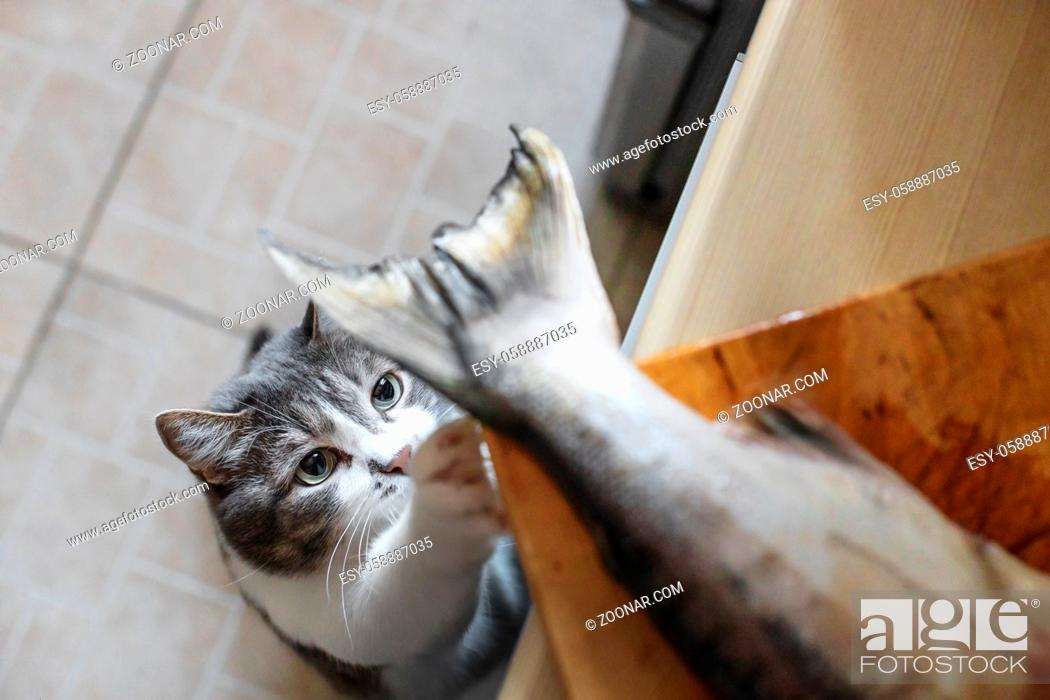 Stock Photo: A hungry cat looks at the tail of a fish on the kitchen table. A pet steals food from the table. Cat's delicacy.