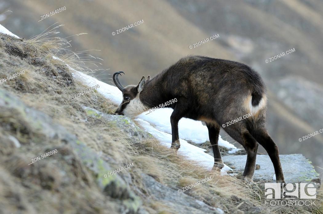 Imagen: Gämse, Rupicapra rupicapra, Nationalpark Gran Paradiso, Italien, Chamois, Gran Paradiso National Park, Italy, Europe.