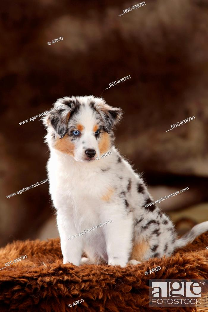 Miniature Australian Shepherd Puppy Blue Merle 10 Weeks Stock Photo Picture And Rights Managed Image Pic Rdc 838781 Agefotostock