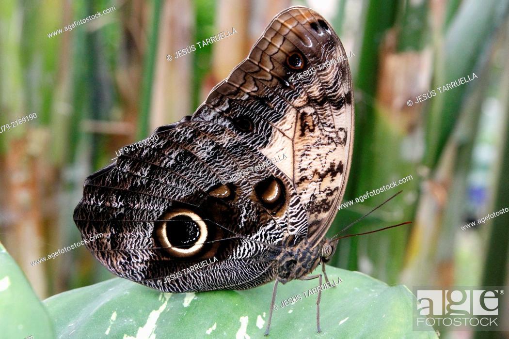 Stock Photo: Owl Butterfly Caligo memnon; Butterfly of America.