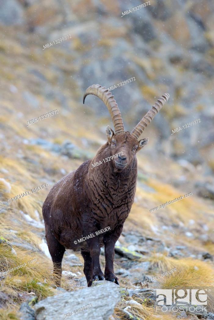 Photo de stock: Ibex, Gran Paradiso National Park, Italy.