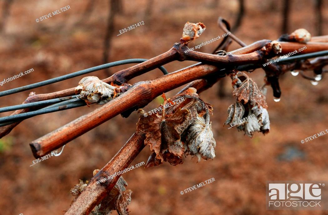 Stock Photo: Spring vines damaged by a sudden freeze of -7°C.