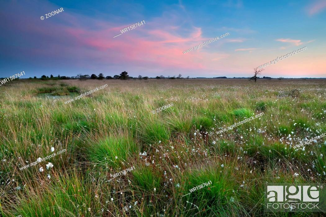 Stock Photo: sunset over swamp with cotton-grass.
