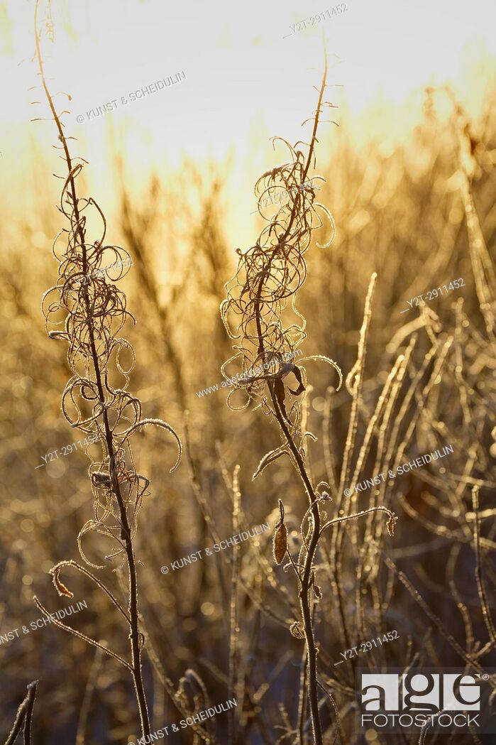 Stock Photo: Frost covered withered grasses are illuminated by low winter sun. Västernorrland, Sweden.