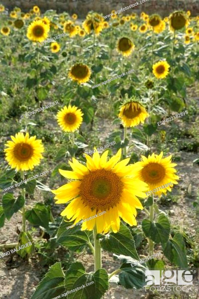Stock Photo: Sunflower plantation vibrant yellow flowers.