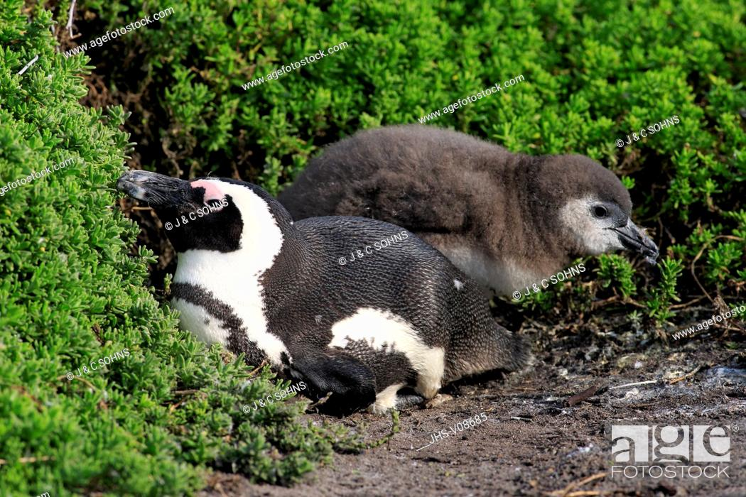 Stock Photo: Jackass Penguin, African penguin, (Spheniscus demersus), adult with young, Stony Point, Betty's Bay, Western Cape, South Africa, Africa.