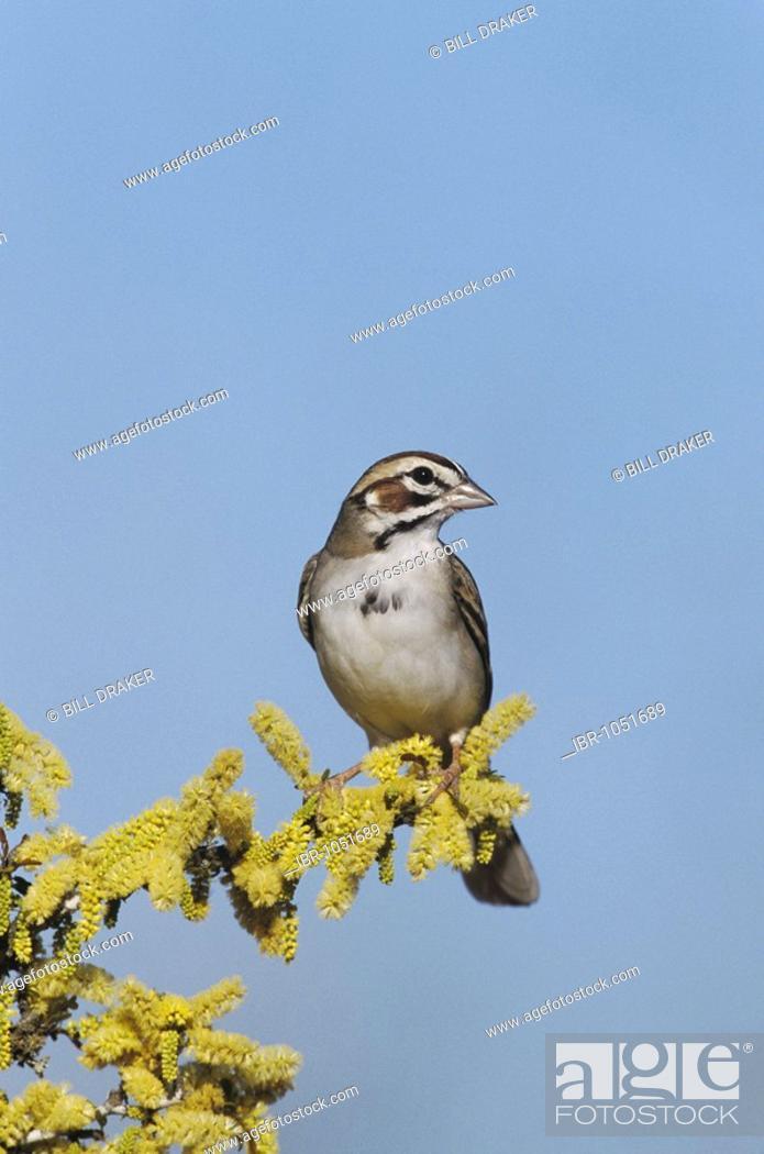 Lark Sparrow Chondestes Grammacus Adult On Blooming Blackbrush