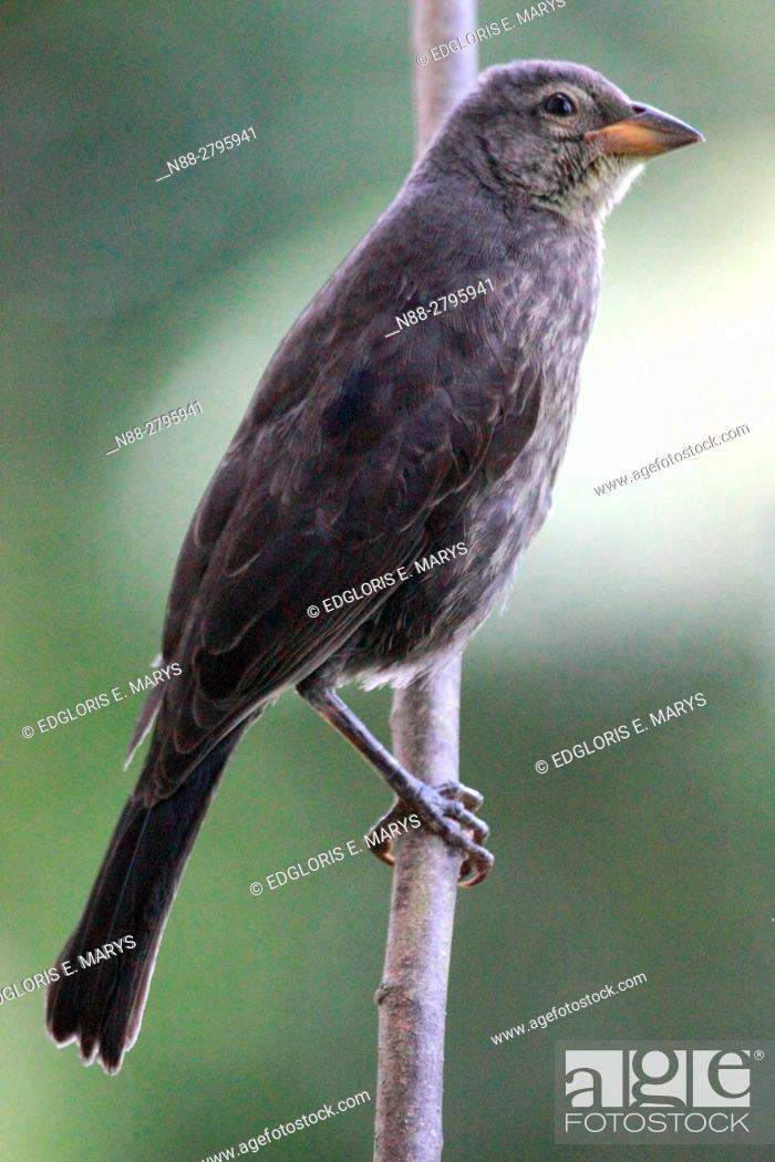 Stock Photo: A Molothrus bonairensis cowbird perched in the forest in Venezuelam South America. It is an obligate brood parasite it lays its eggs in the nests of other small.