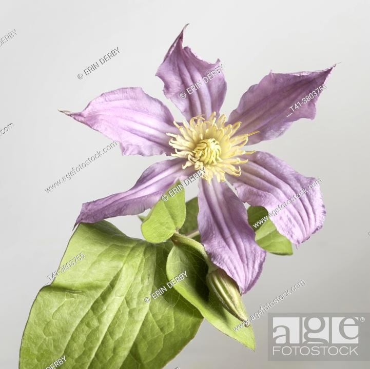 Stock Photo: A single purple flower against a grey background.