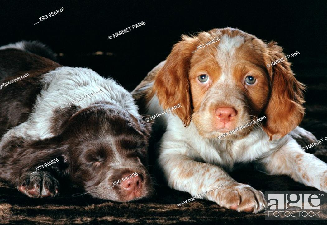 Stock Photo: Two Brittany Spaniel puppies.