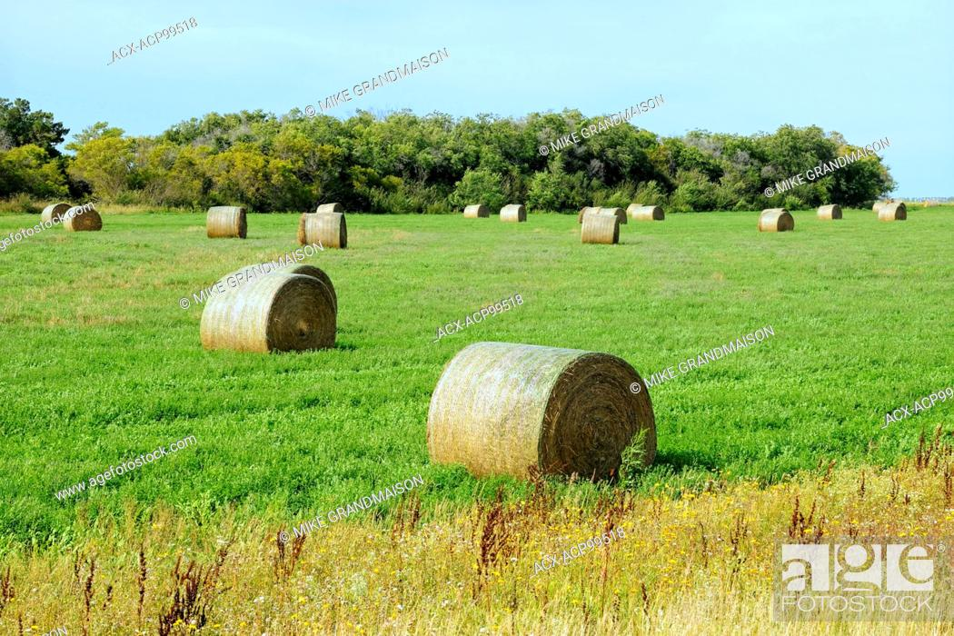 Stock Photo: Alfalfa bales Yellow Grass Saskatchewan Canada.