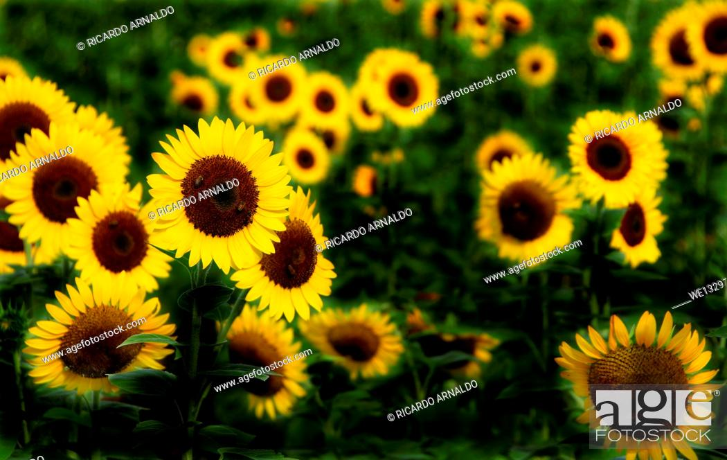 Stock Photo: Sunflowers in a Field.