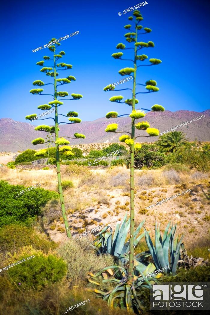 Stock Photo: Agave Americana, Natural Park Cabo de Gata, Almeria, Spain.