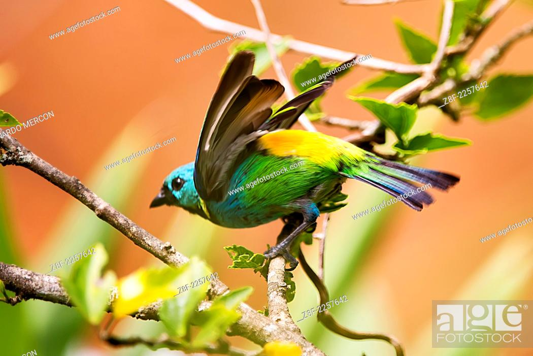 Stock Photo: Green-headed tanager spreading its wings to take off.