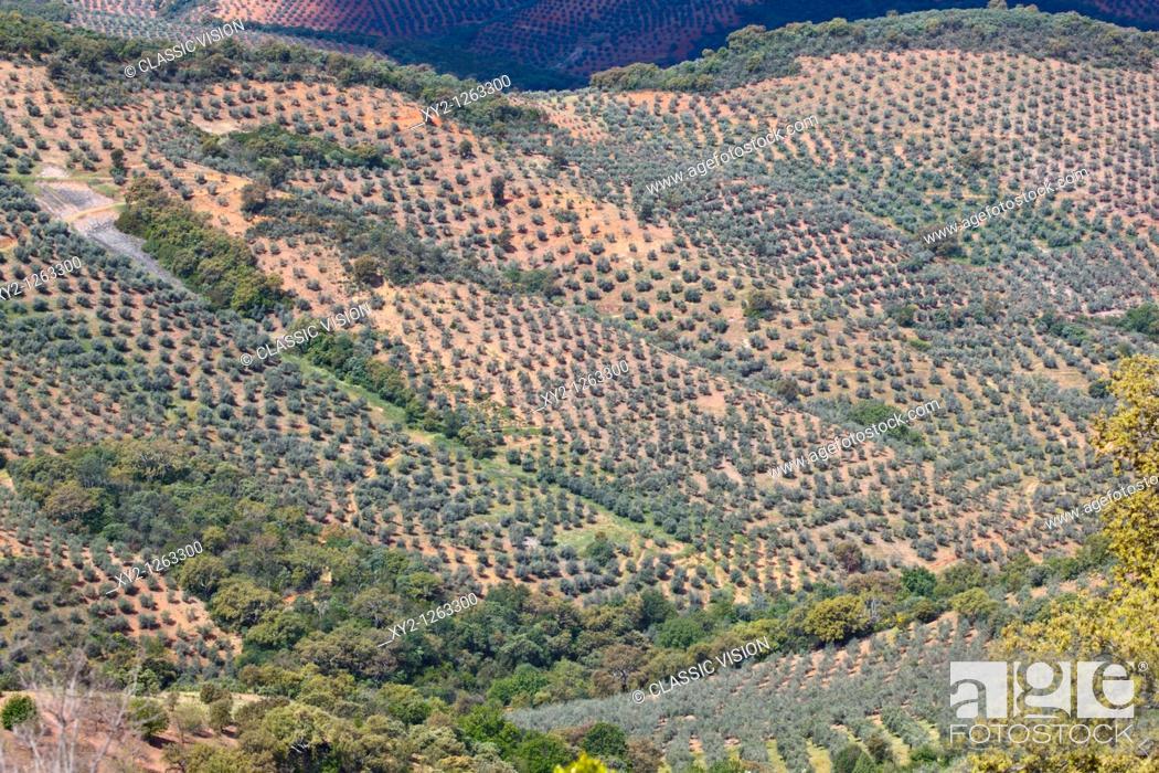 Stock Photo: Olive groves in Sierra de las Villuercas, Caceres Province, Spain.