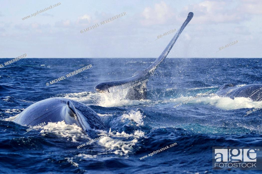 Stock Photo: Humpback Whale (Megaptera novaeangliae), fluke, Silverbanks, Dominican Republic.