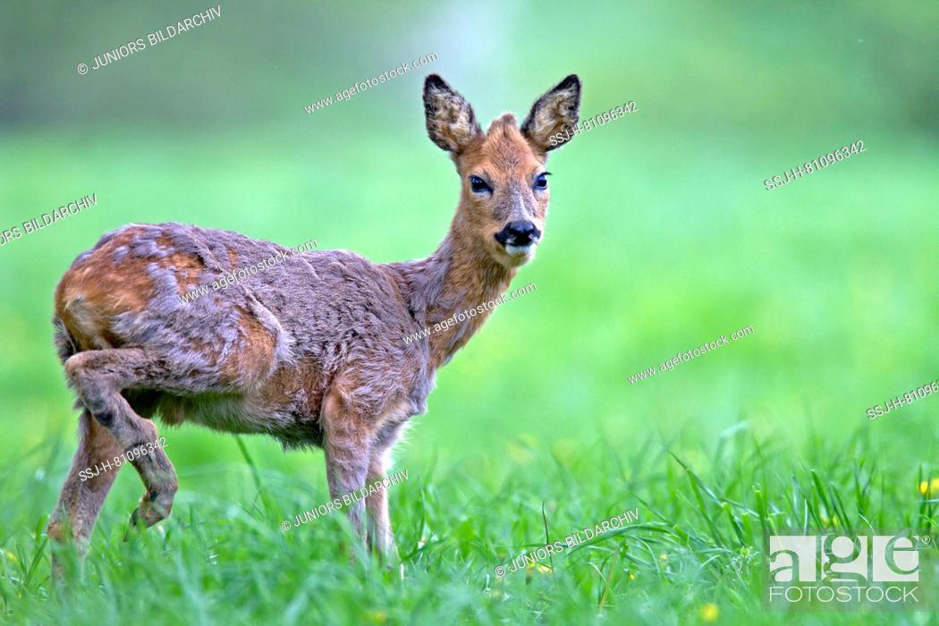 Stock Photo: Western Roe Deer (Capreolus capreolus). A juvenile roebuck changing ist coat. Germany.