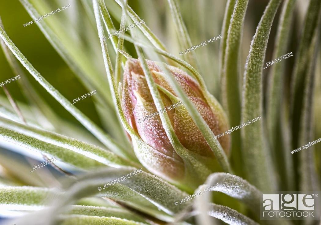 Stock Photo: Close up of the leaves of a Tillandsia, air plant.