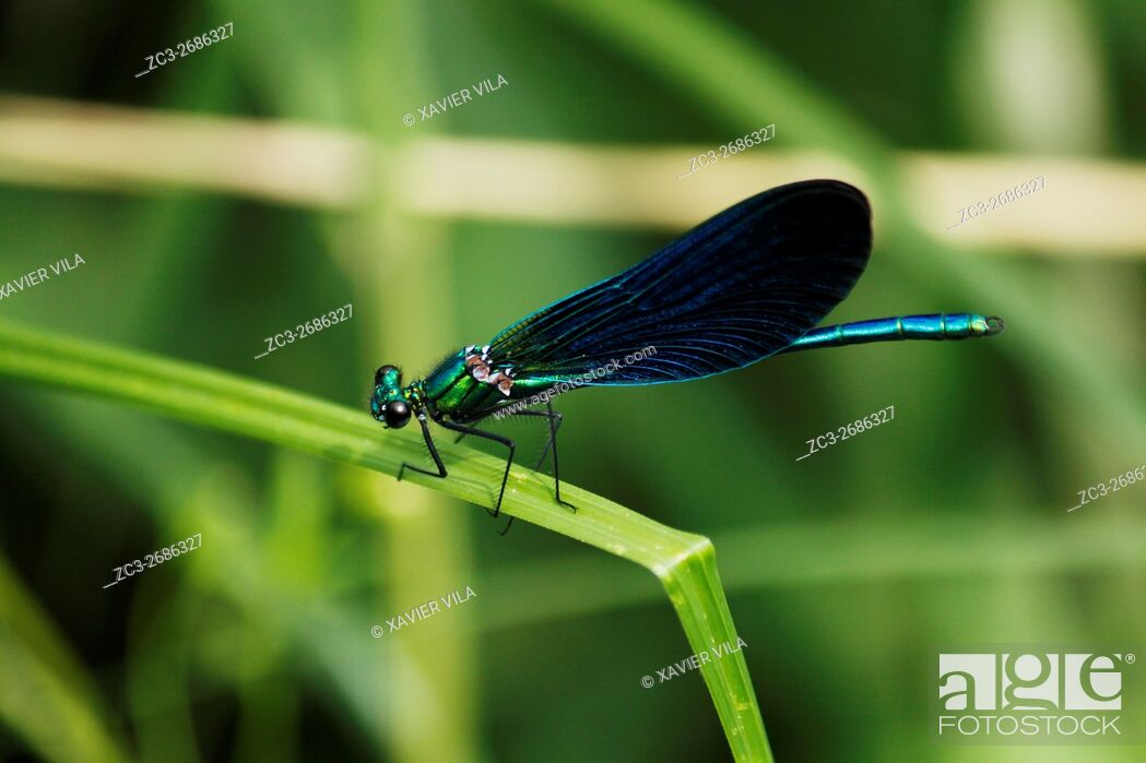 Stock Photo: Dragonfly, Calopteryx Virgo, Nature, Chartreuse, Isere, Auvergne Rhone Alpes, France, Europe.