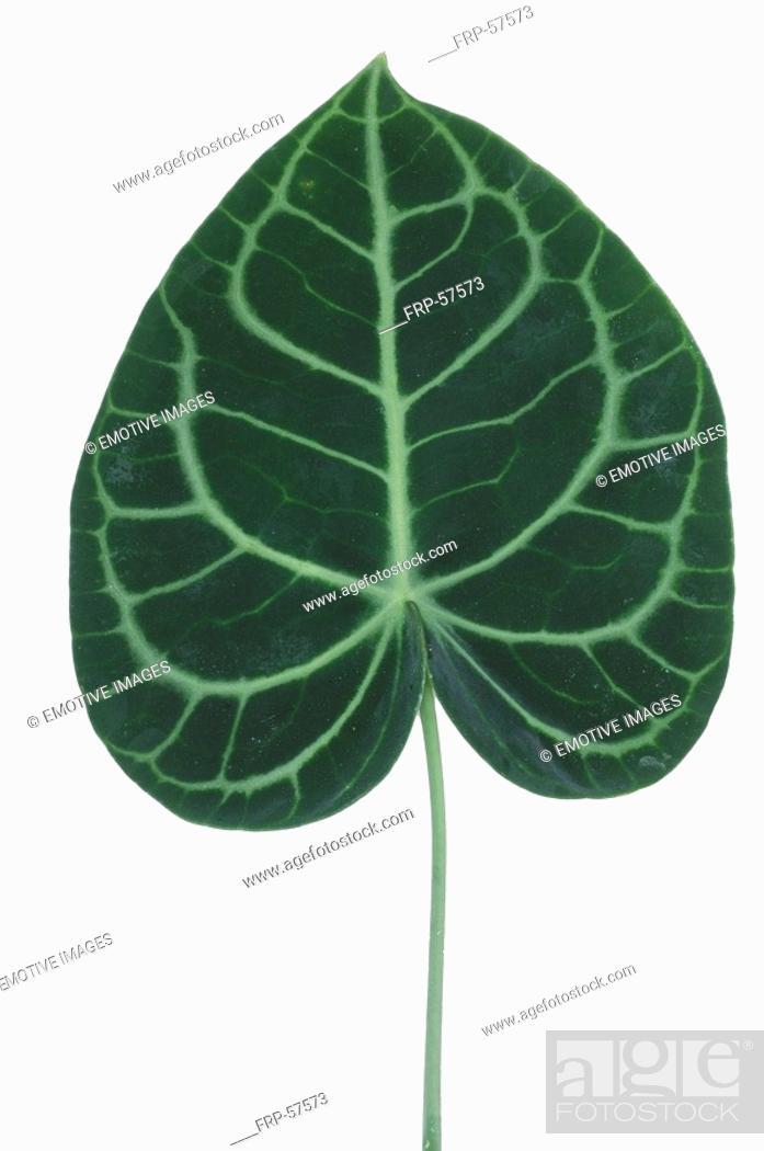 Stock Photo: Anthurium leaf.
