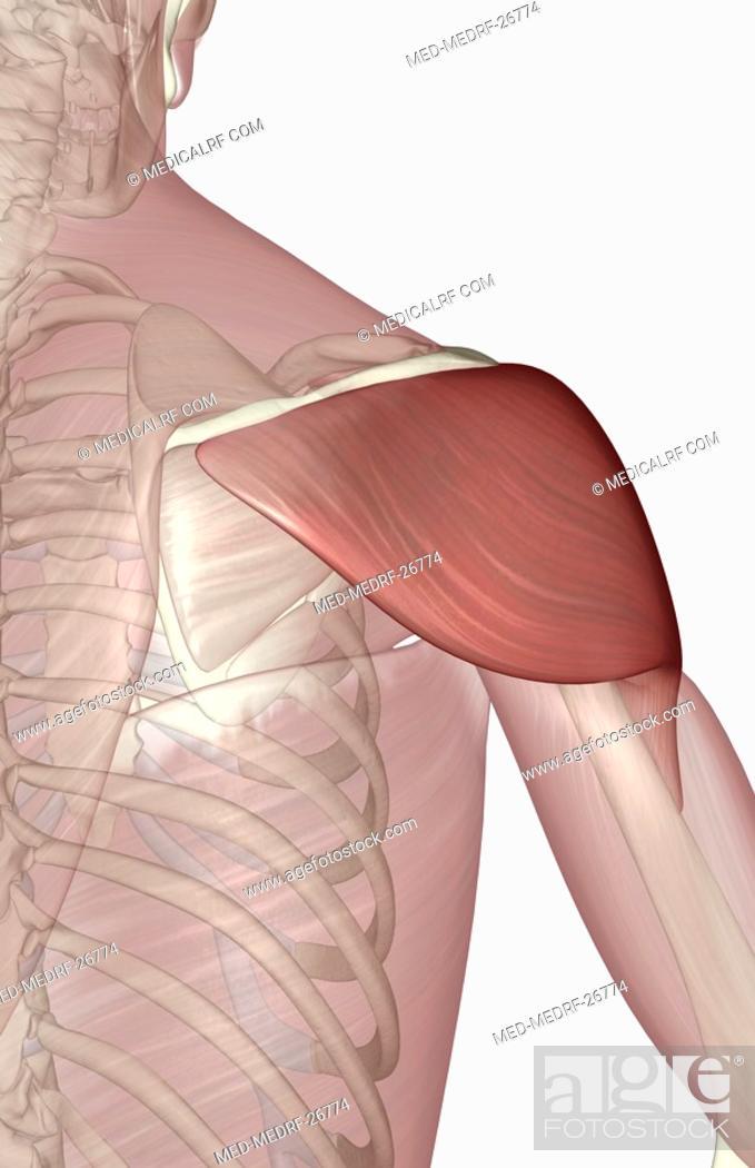Stock Photo: Deltoid muscle.