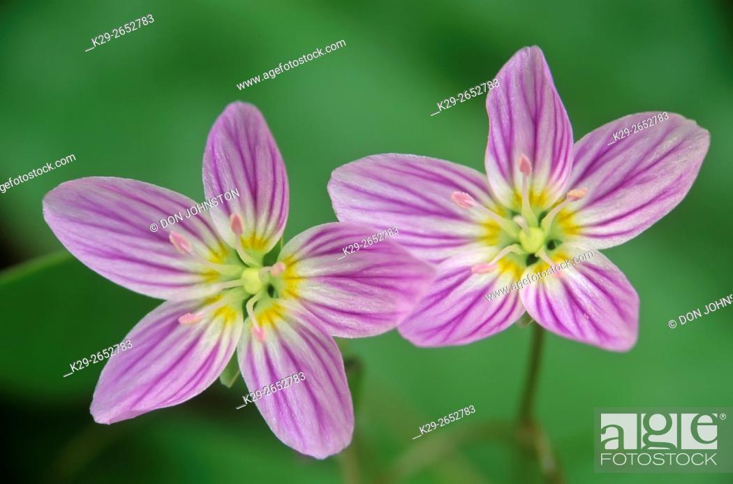 Stock Photo: Spring beauty (Claytonia virginica), Sheguiandah, Manitoulin Island, Ontario, Canada.