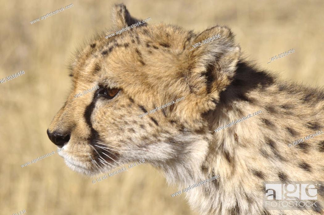 Stock Photo: Namibia: Cheetah Conservation Fund (CCF) Reserve near Okahandja.