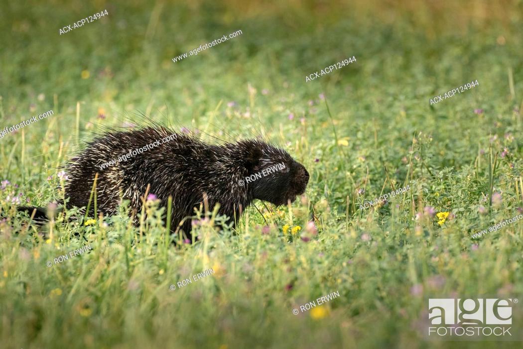 Stock Photo: North American Porcupine (Erethizon dorsatum dorsatum), Barrie Island, Manitoulin Island, Ontario, Canada.