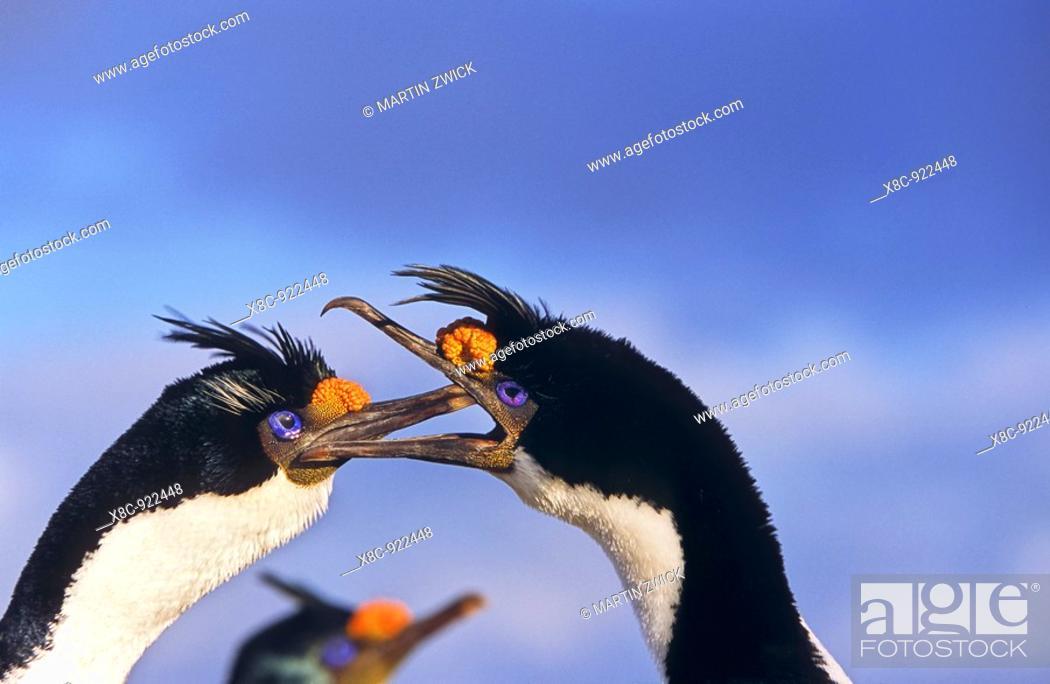 Stock Photo: King Cormorant or Imperial Shag, Phalacrocorax atriceps albiventer, pair in courtship display and breeding plumage on Bleaker Island  Anarctica, Subantarctica.