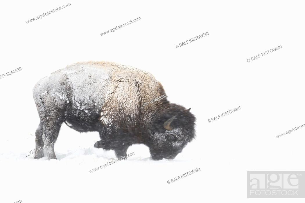 Imagen: American bison / Amerikanischer Bison ( Bison bison ) during blizzard, rolling snow, pawing the ground, searching for food, Yellowstone NP, Wyoming,USA.
