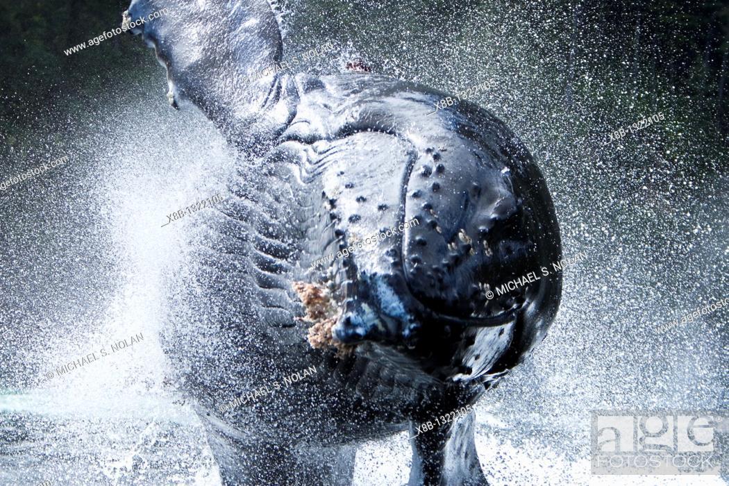 Stock Photo: Humpback Whale Megaptera novaeangliae.