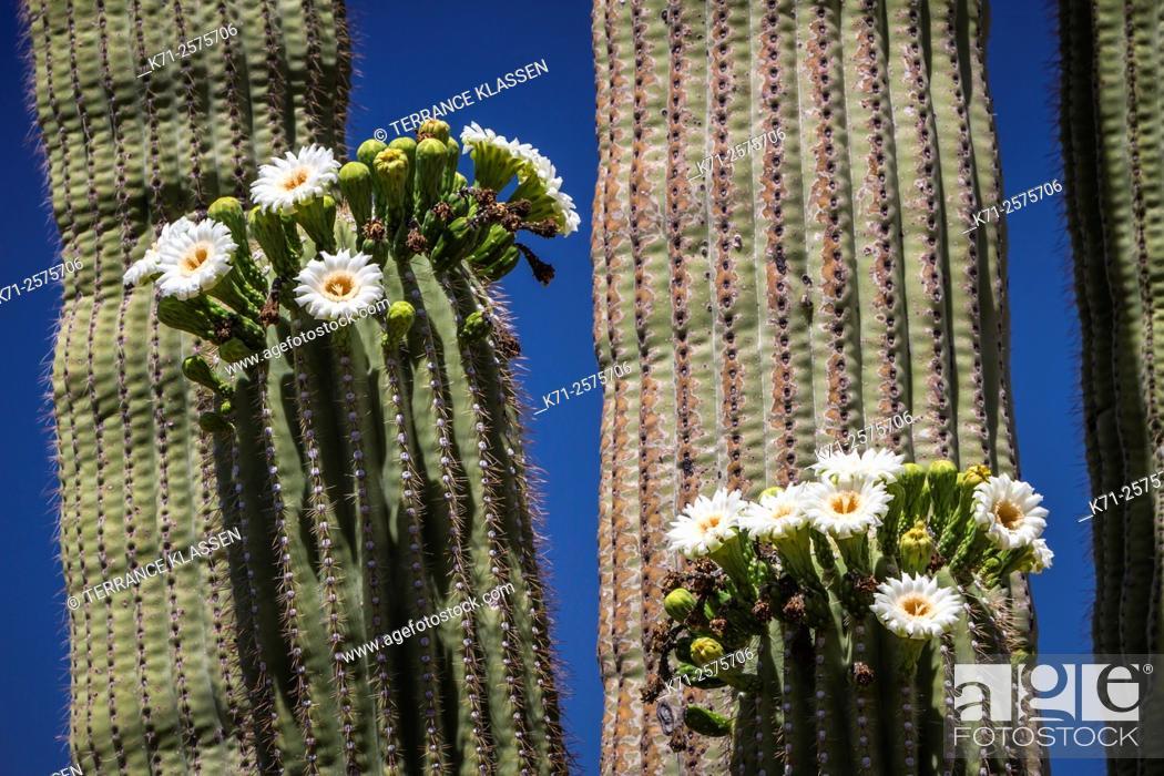 Imagen: Cactus blossoms on the trunks of the Saguaro cactus in Saguaro National Park near Tucson, Arizona, USA.