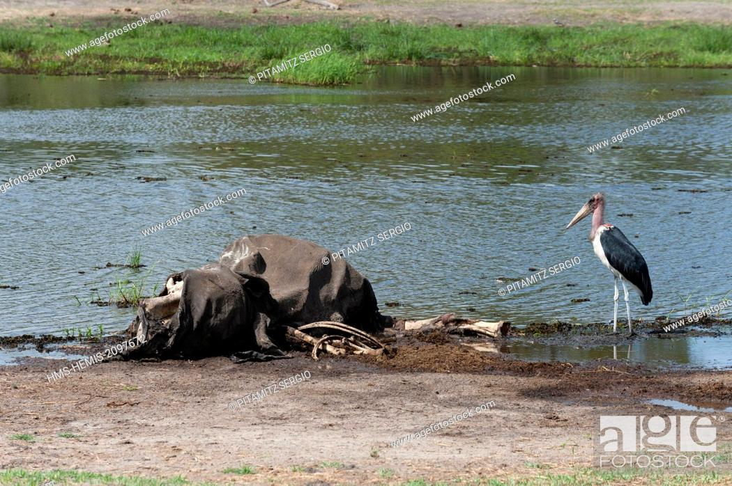 Photo de stock: Botswana, Okavango delta, listed as World Heritage by UNESCO, Khwai Concession Area, Marabou stork (Leptptilos crumeniferus).