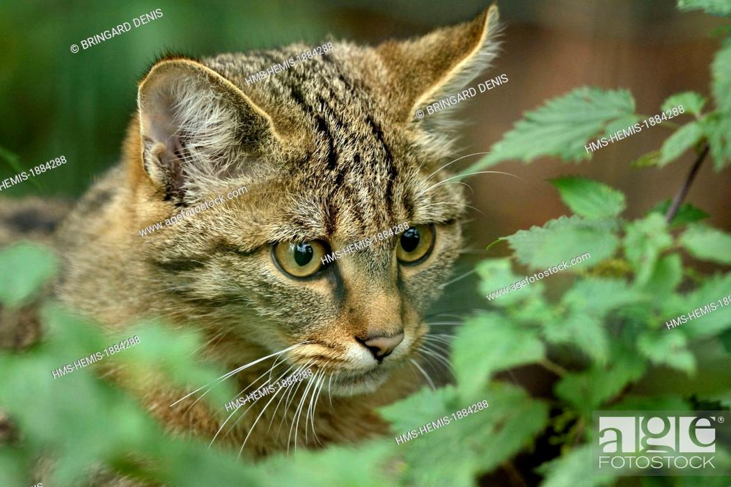 Stock Photo: France, Moselle, Rhodes, animal park of Sainte Croix, pens, Wildcat (Felis silvestris).