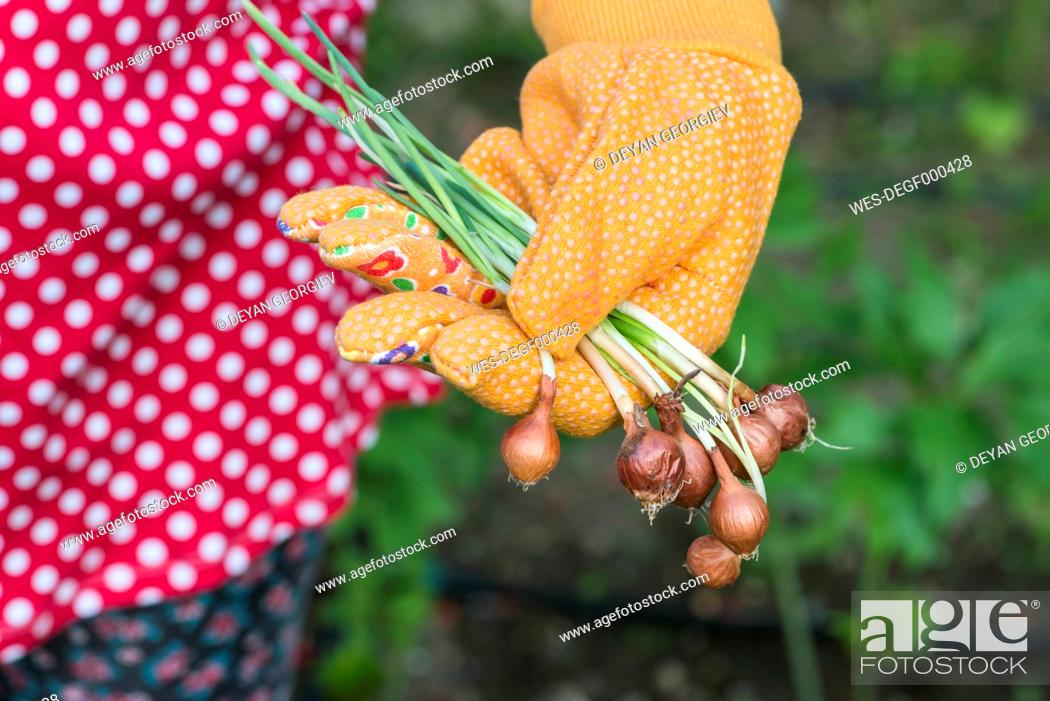 Stock Photo: Woman's hand holding plant bulbs in a garden.