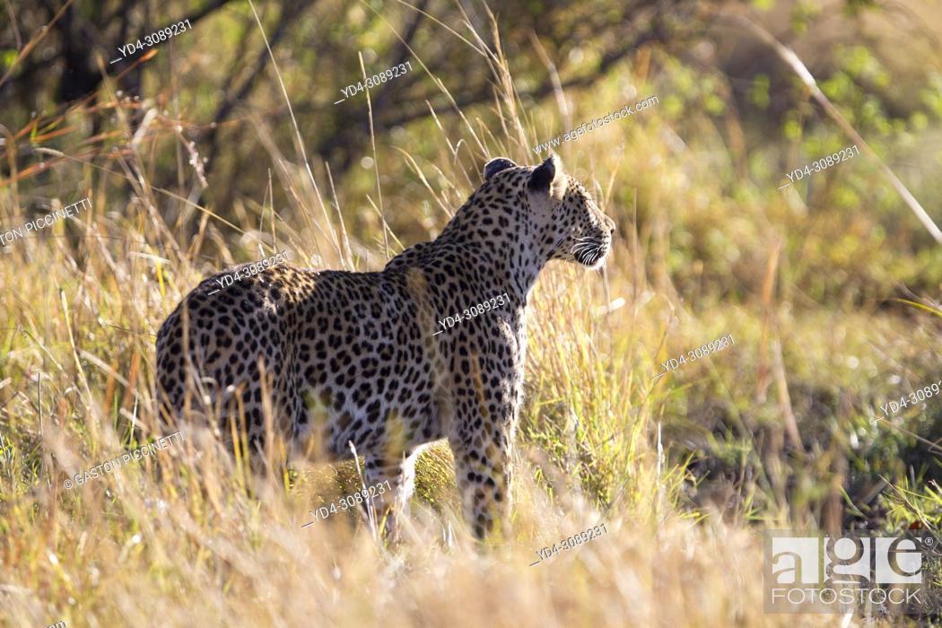 Stock Photo: Leopard (Panthera pardus) - Male, Okavango Delta, Moremi Game Reserve, Botswana.