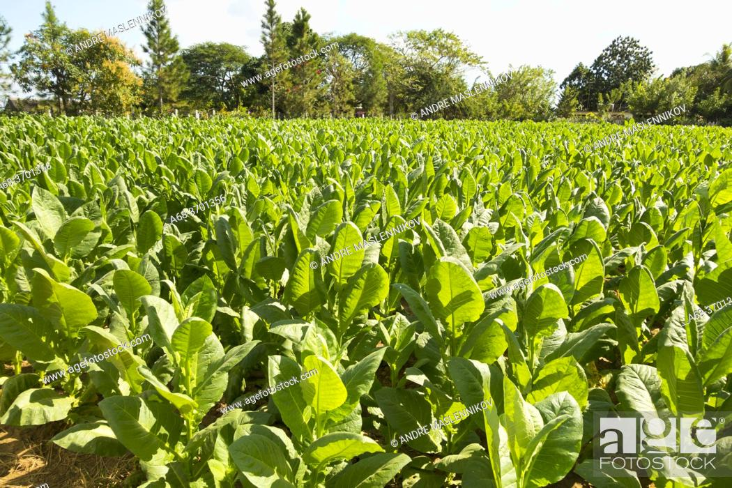 Stock Photo: Tobacco farm in Vinales valley, Viñales, Cuba.