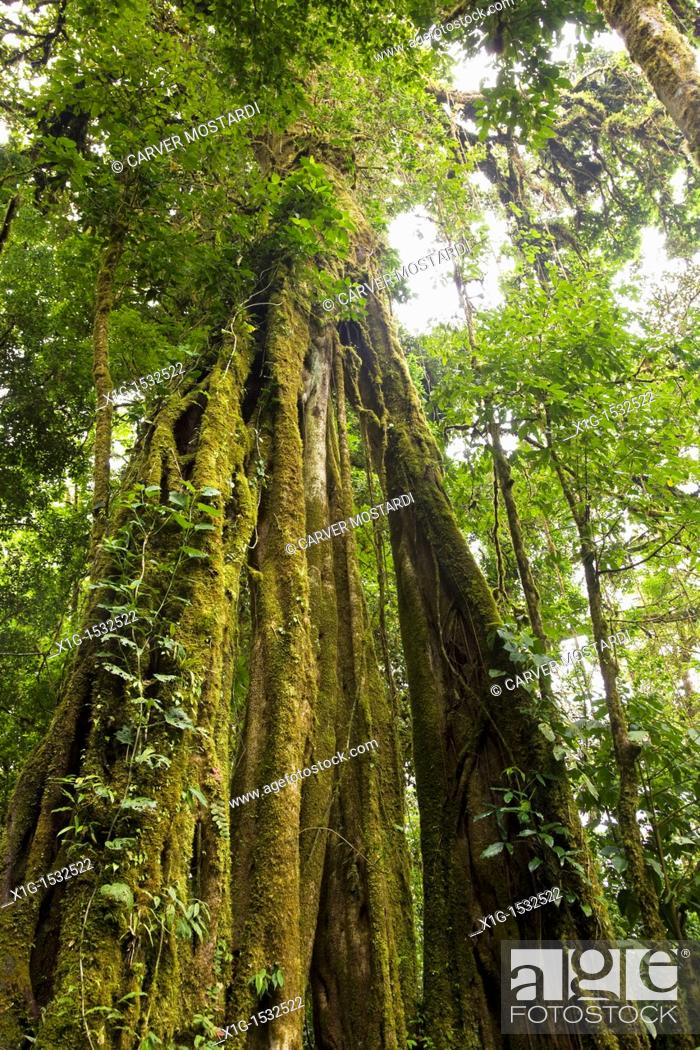 Stock Photo: Strangler Fig Ficus aurea growing in the Monteverde Cloud Forest Reserve, Costa Rica.