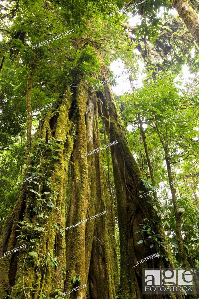 Stock Photo: Strangler Fig Ficus aurea growing in the Monteverde Cloud Forest Reserve, Costa Rica.