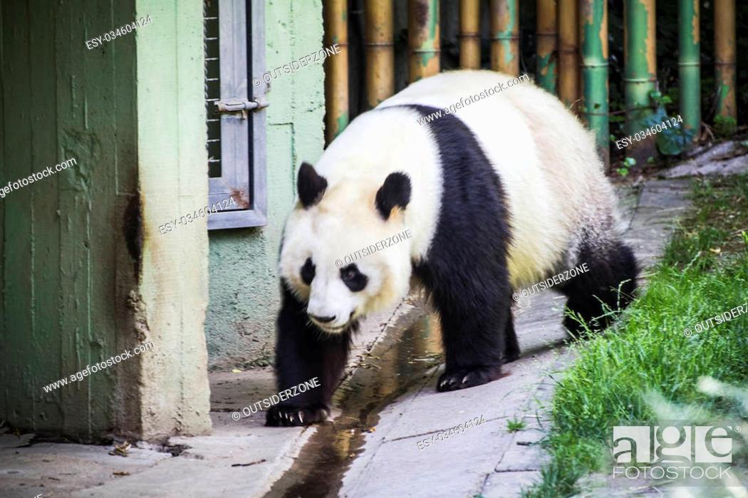 Stock Photo: Habitat, Beautiful breeding panda bear playing in a tree.