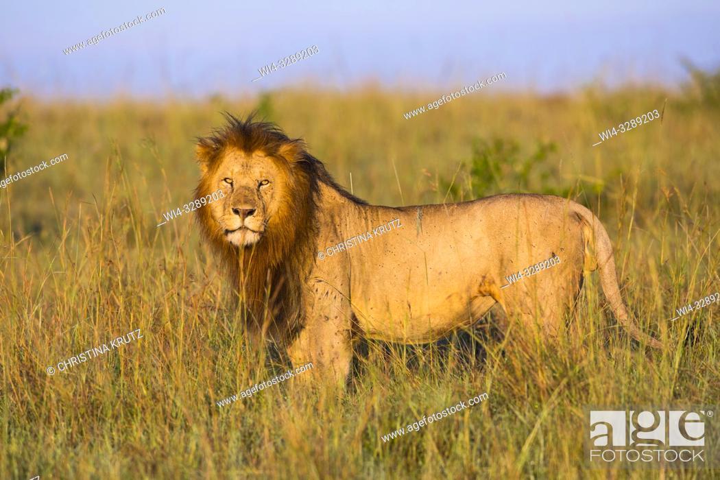 Stock Photo: African Lion (Panthera leo), male standing in tall grass, Maasai Mara National Reserve, Kenya, Africa.