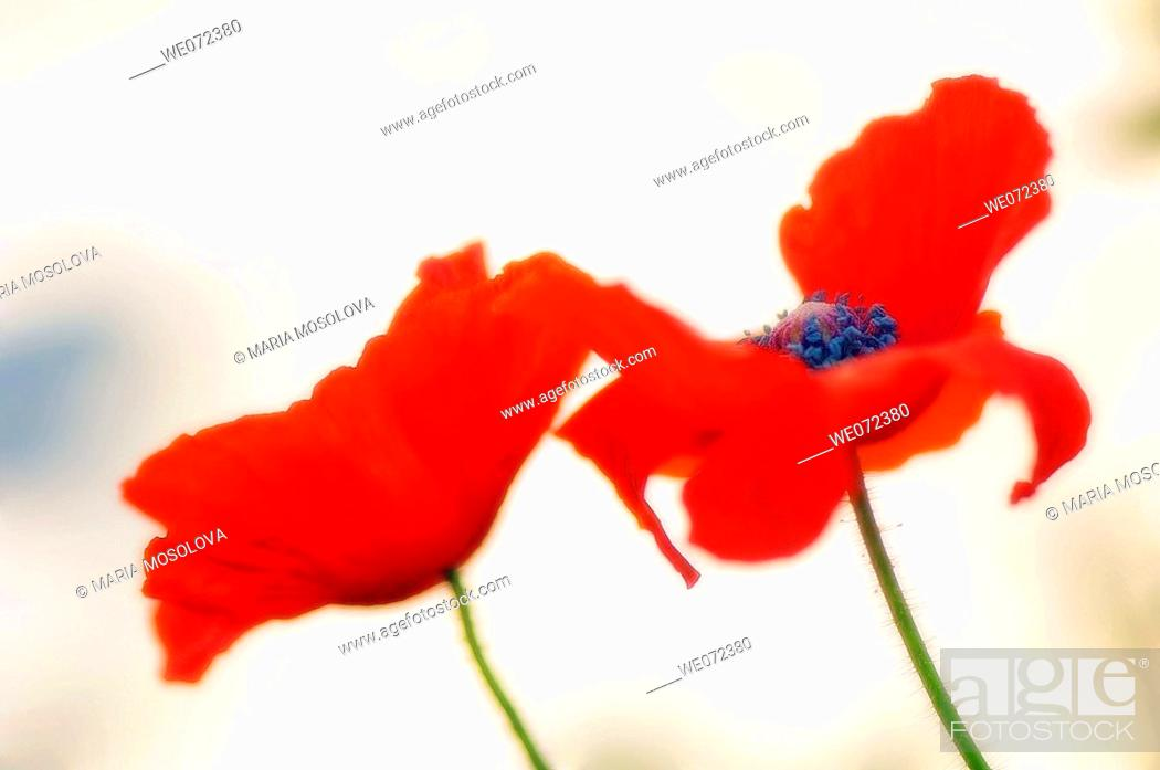 Stock Photo: Red Poppy Flowers. Papaver rhoeas. May 2007, Maryland, USA.
