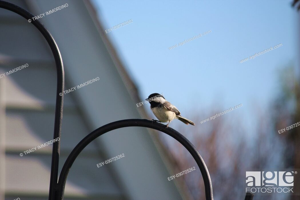 Stock Photo: Close up of a Black-capped Chickadee, Poecile atricapillus, perched on a black metal Shepherd's hook stand.
